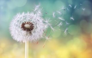 dandelion-blowing-away