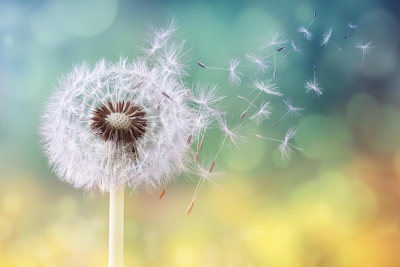 dandelion-blowing-away
